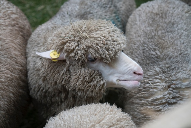Sheep Day low res-10